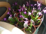 鹿嶋市のお花やさん:うちのやさん シラン