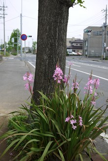 鹿嶋市城山の街路樹