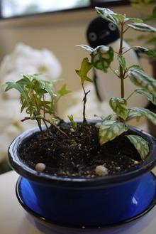 アイビーと?とDAISOの盆栽用鉢