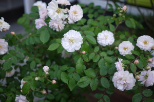国バラのバラ