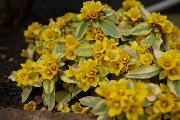 事務所の花壇リシマキア
