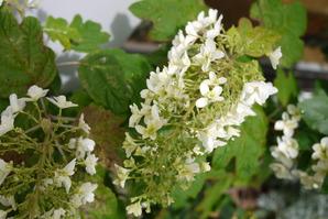 事務所の花壇柏葉紫陽花