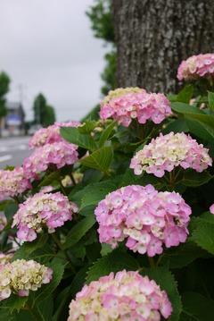 城山の街路樹紫陽花