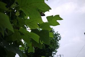 鹿嶋市城山街路樹ポプラ