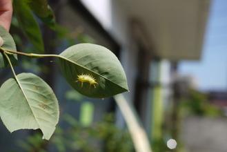 鹿嶋市ガーデニングgroom花壇の毛虫