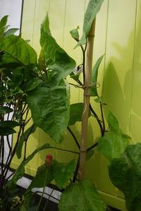 鹿嶋市 植栽 茄子