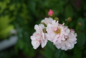 コーネリア groom花壇