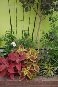 コリウス groom花壇
