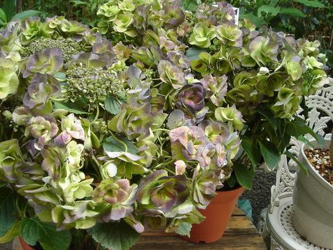 シブイ紫陽花