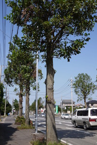 城山の街路樹 プラタナス