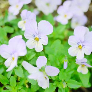 薄紫のビオラ