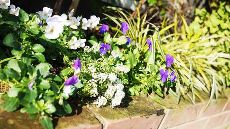 冬の花壇 ビオラ