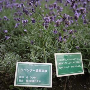 ファーム富田 温室育ちのラベンダー