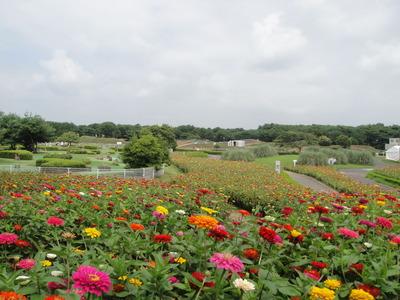 ひたち海浜公園 ジニア花畑