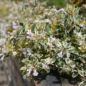 アベリア ホープレイズのお花