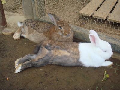 ツートンウサギ