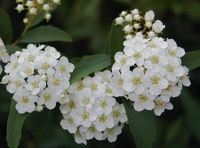 コデマリのお花