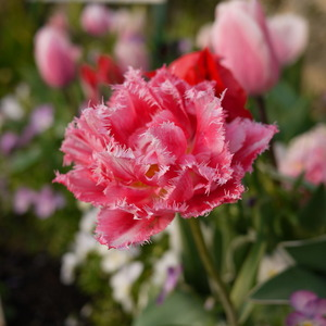 八重フリンジ咲きチューリップ