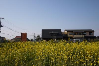 菜の花畑!