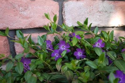 ヒメツルニチニチソウお花