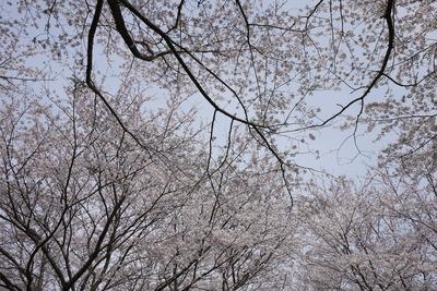 下から見たさくらの木
