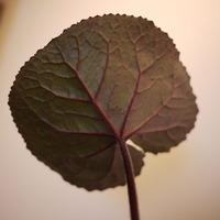 リグラリアの葉の裏