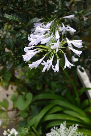 アガパンサスのお花