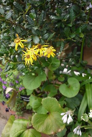 リグラリアのお花