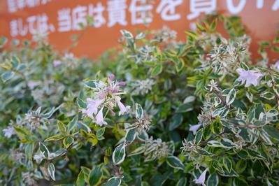 アベリア ホープレイズの花