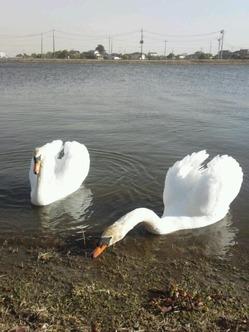 前川の白鳥