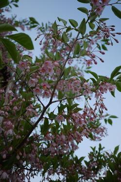 エゴのお花