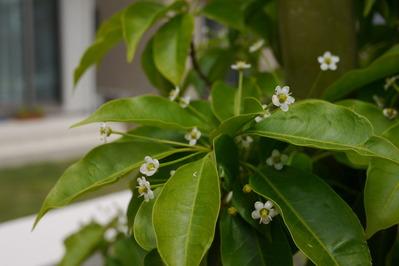 ソヨゴの花