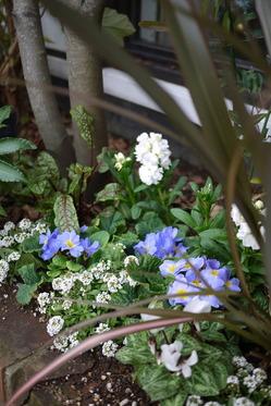 プリムラ冬花壇