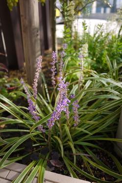 斑入りヤブランの花