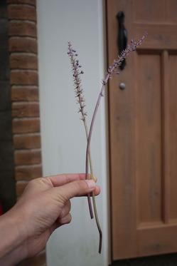 ヤブランの花穂